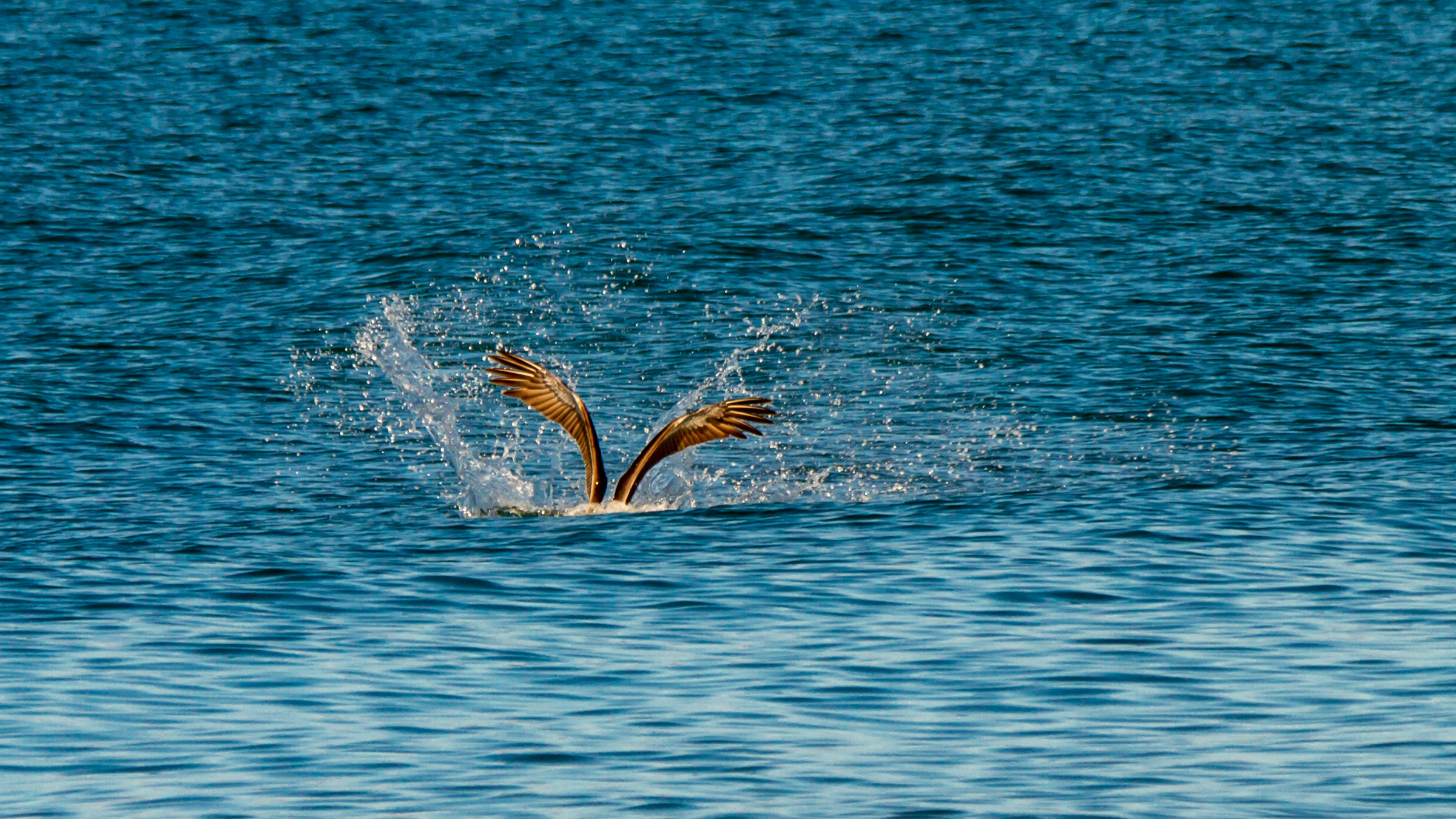 Brown Pelican Dive