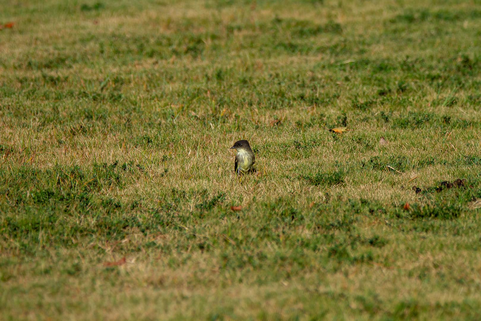 Olive-Sided Flycatcher -