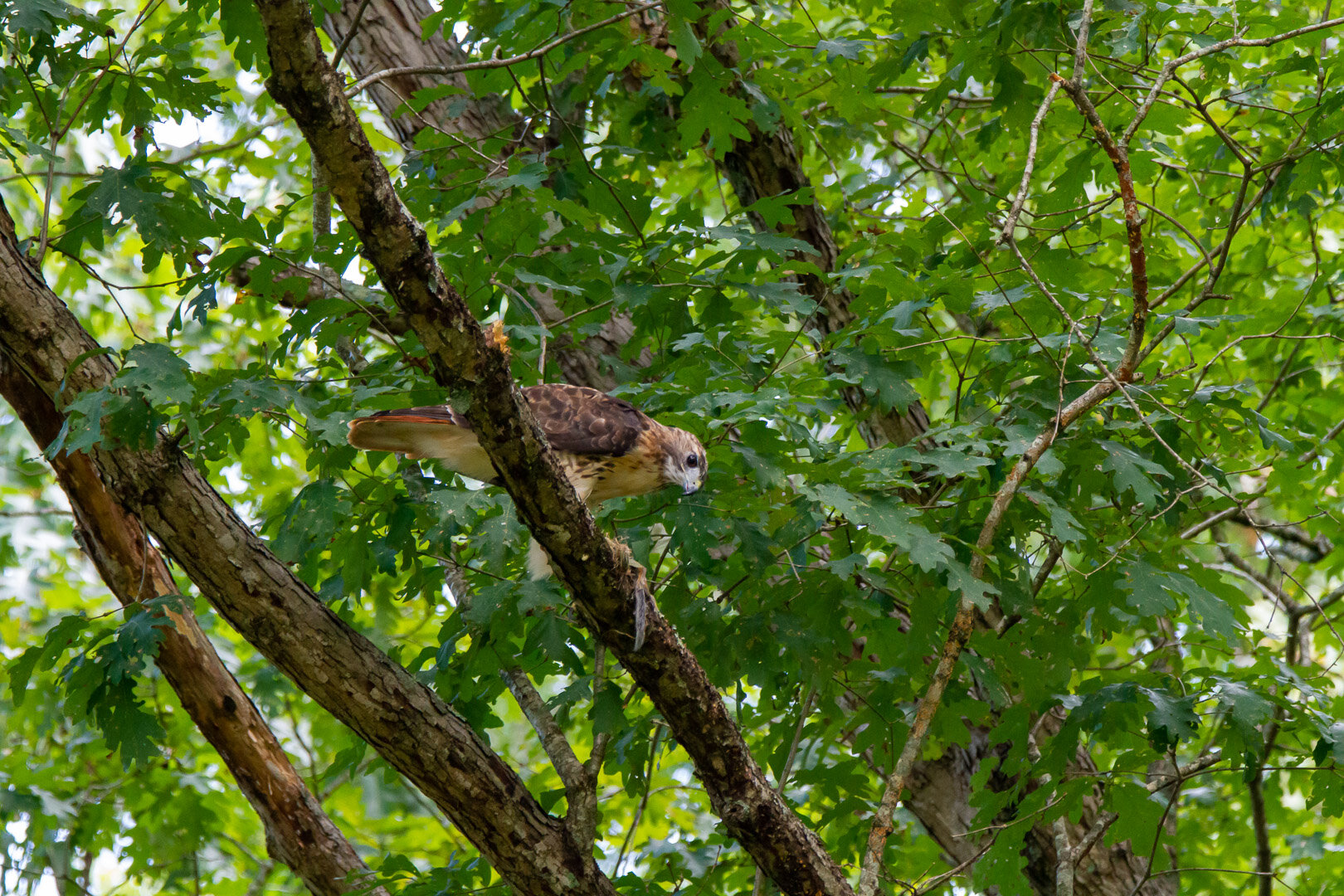 Red Tailed Hawk -