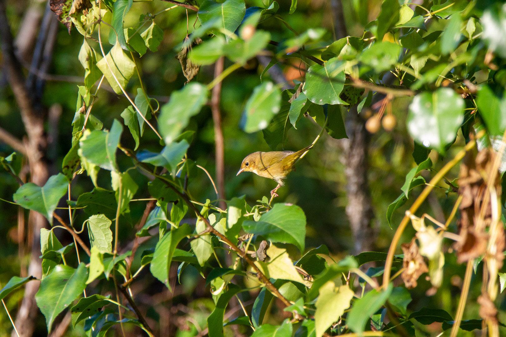 Common Yellowthroat -