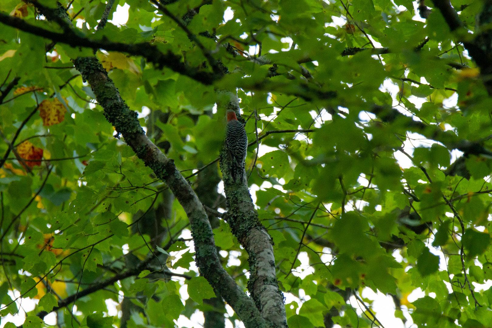 Red-Bellied Woodpecker -