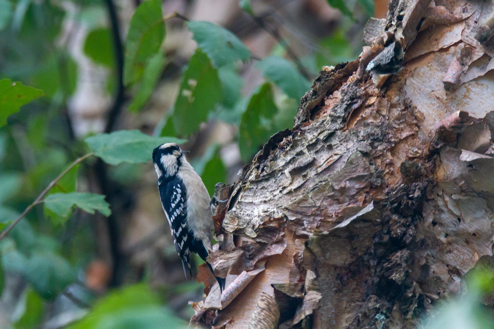 Downy Woodpecker -