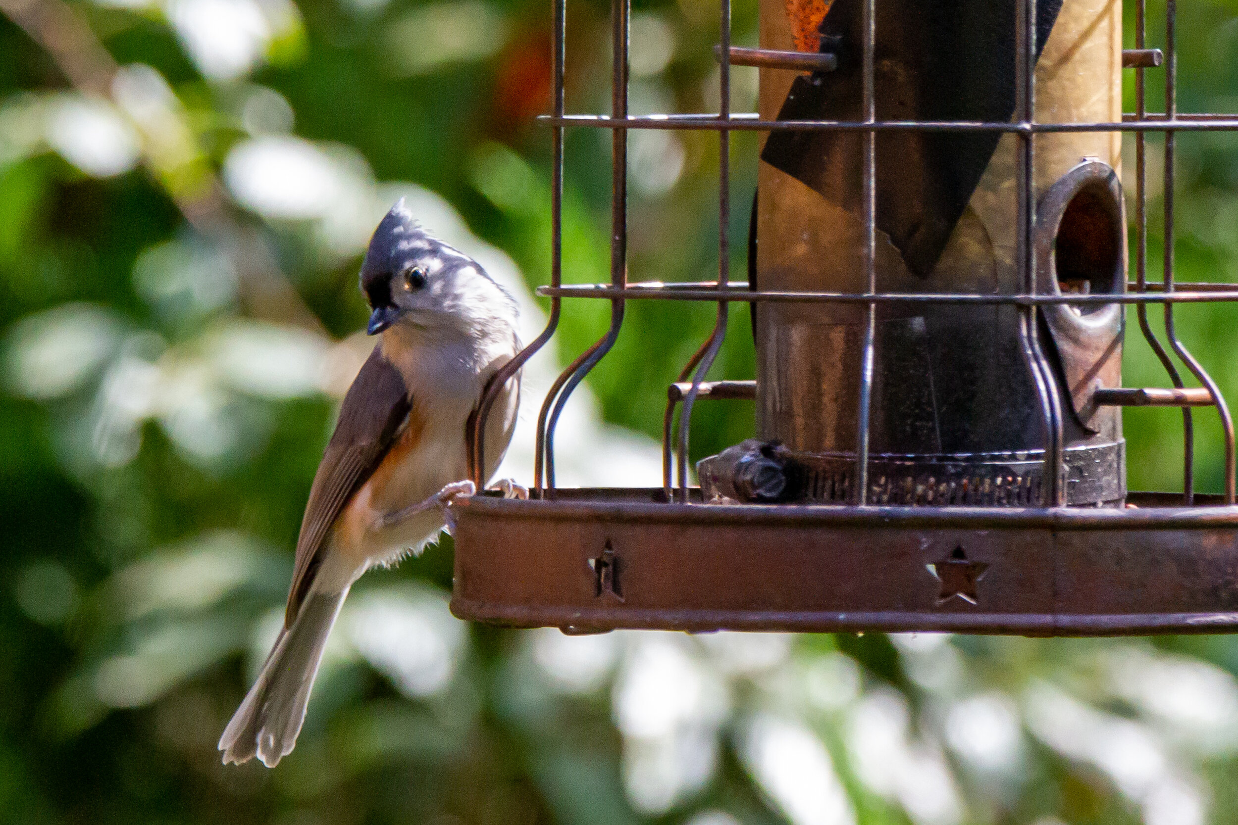 Tufted Titmouse -