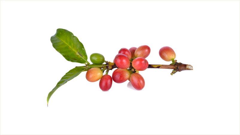 coffee_beans_before_harvest_16_9.jpg