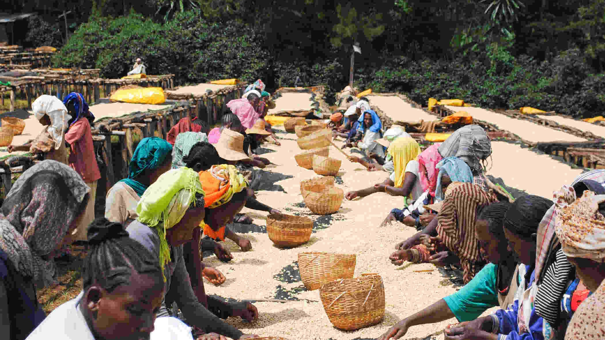 coffee_drying_ethiopia.jpg