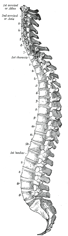 Drawing of vertebral column from Gray's Anatomy and Wikipedia Commons