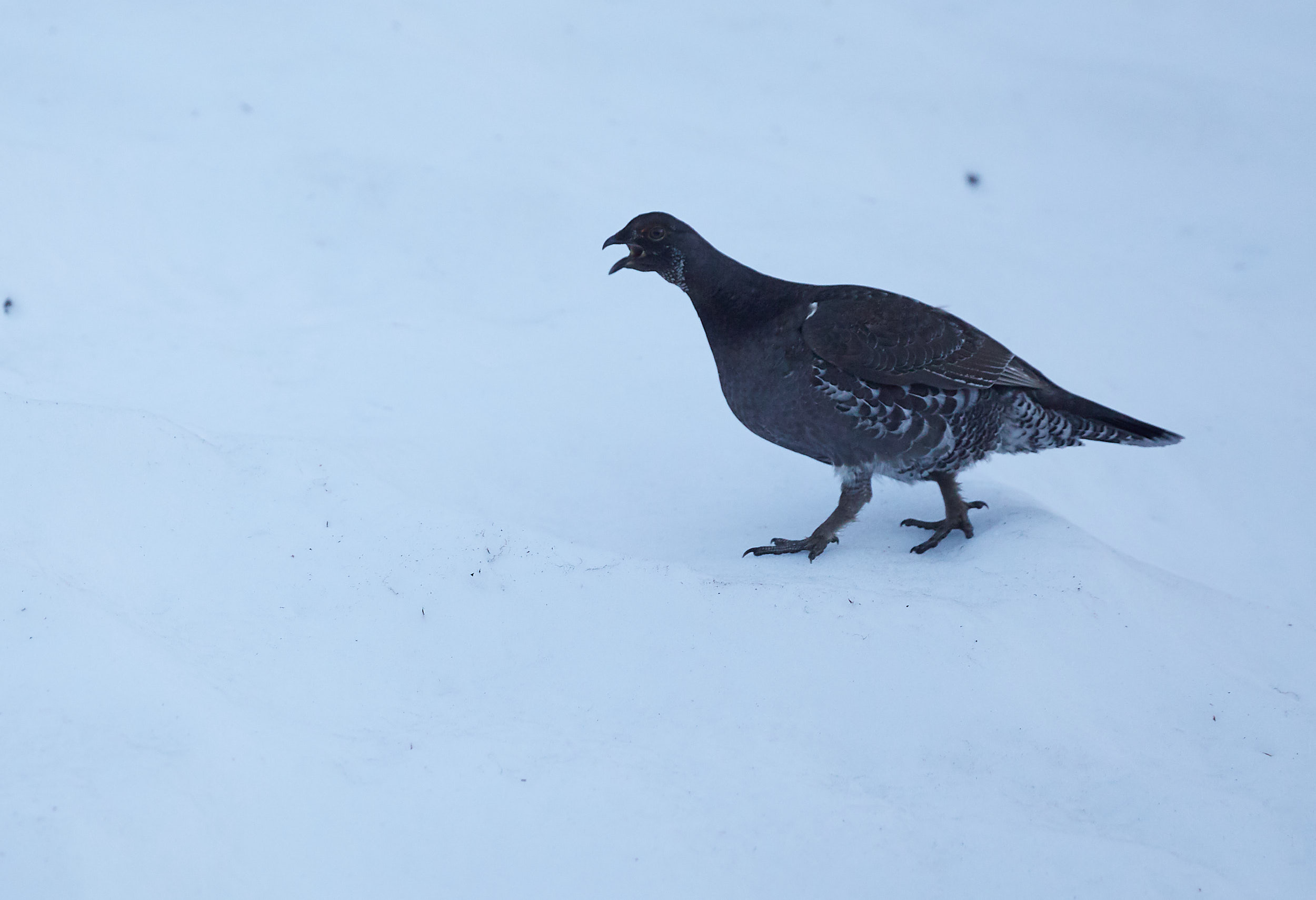We came across this funny little bird running along the trail with us. I believe it was a Ptarmigan.