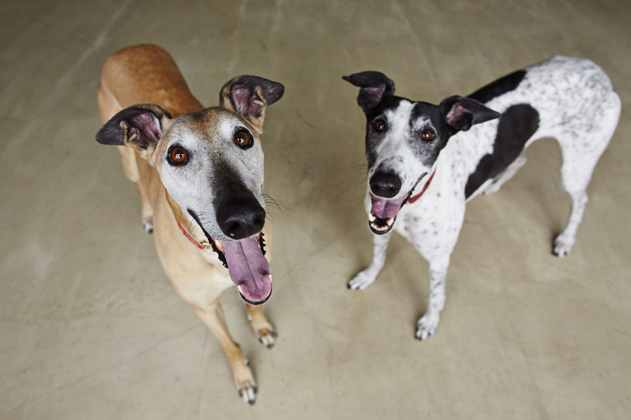 two-greyhounds.jpg