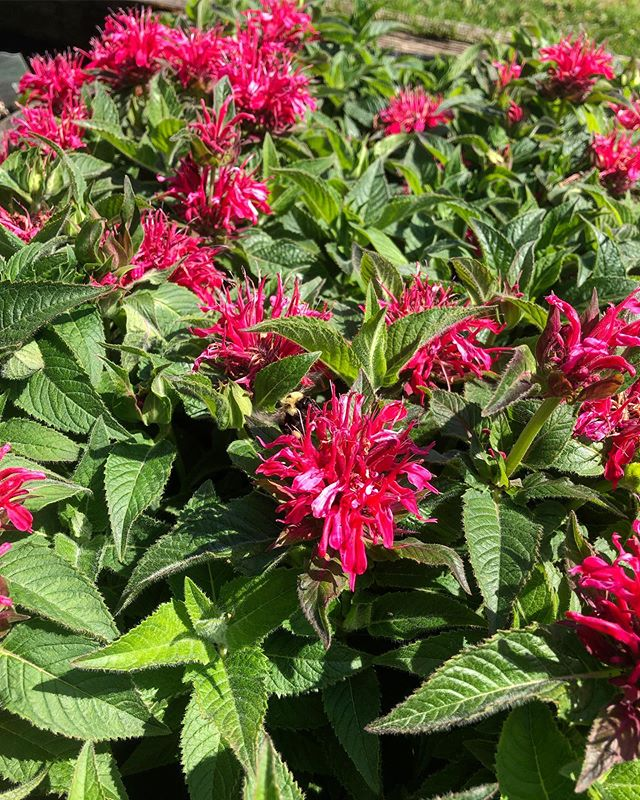 Its August! We've got beautiful apple trees, hydrangeas, and much more in stock. Our bee balm is looking fabulous and the bees are loving it too (can you spot the beautiful bumble?). Be sure to stop by as our annuals are now on sale! 25% off!!