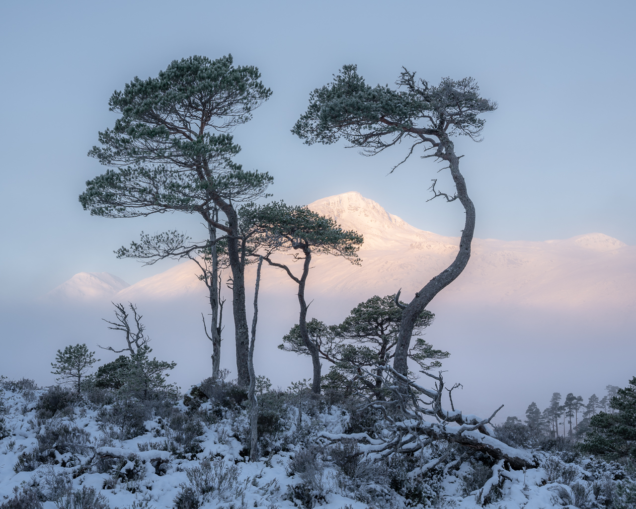 A family of Scots Pine in the Caledonian Forest , by Simon Baxter