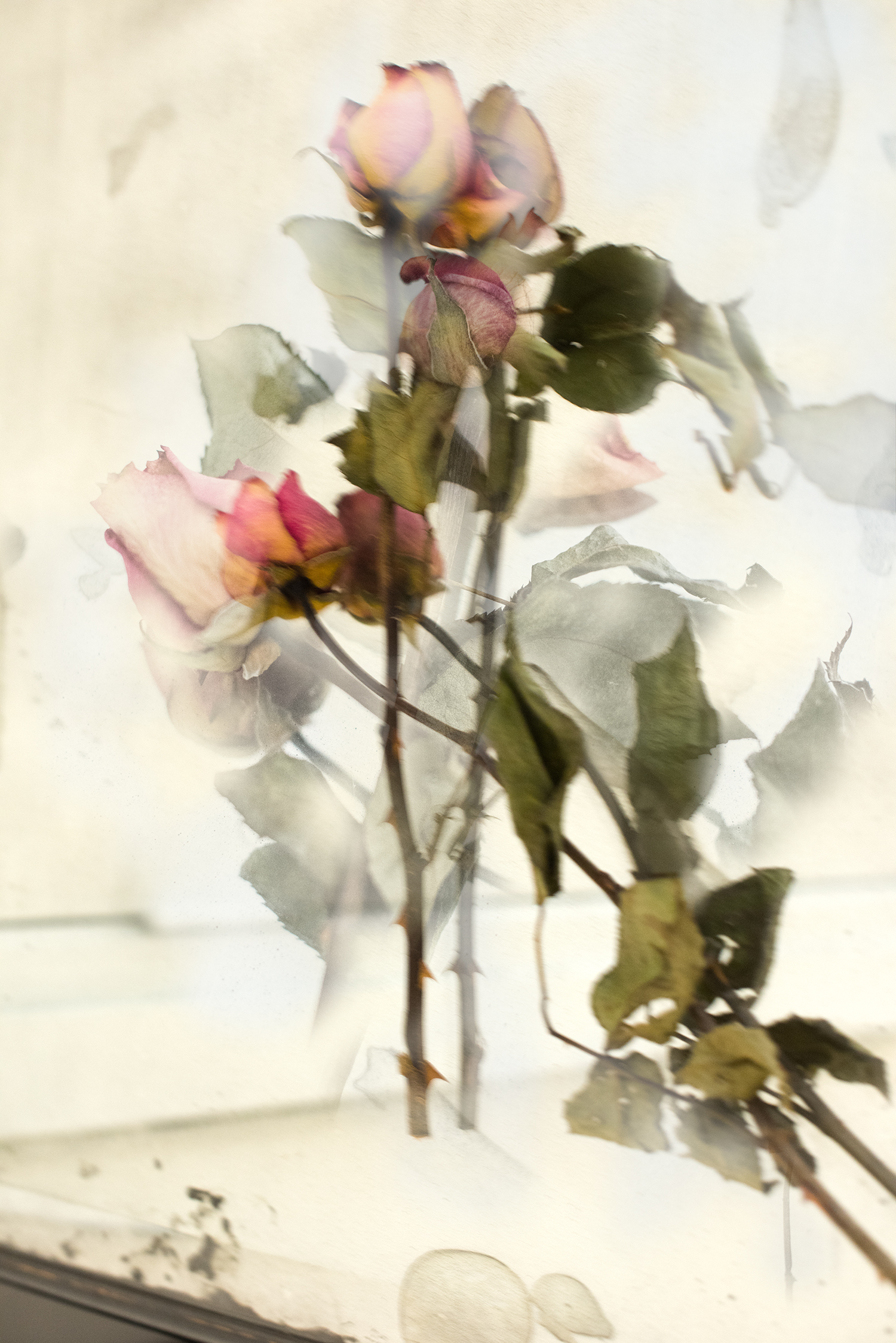 Petra's Roses++++