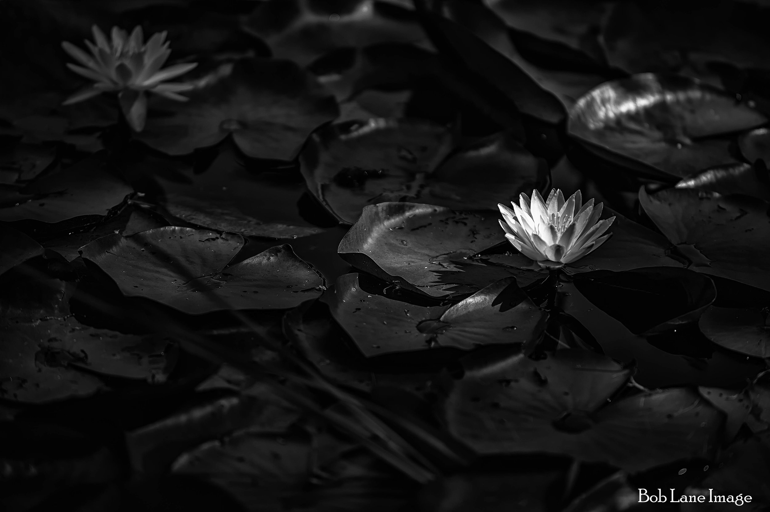 Spectacle Water Lily (1 of 1).jpg