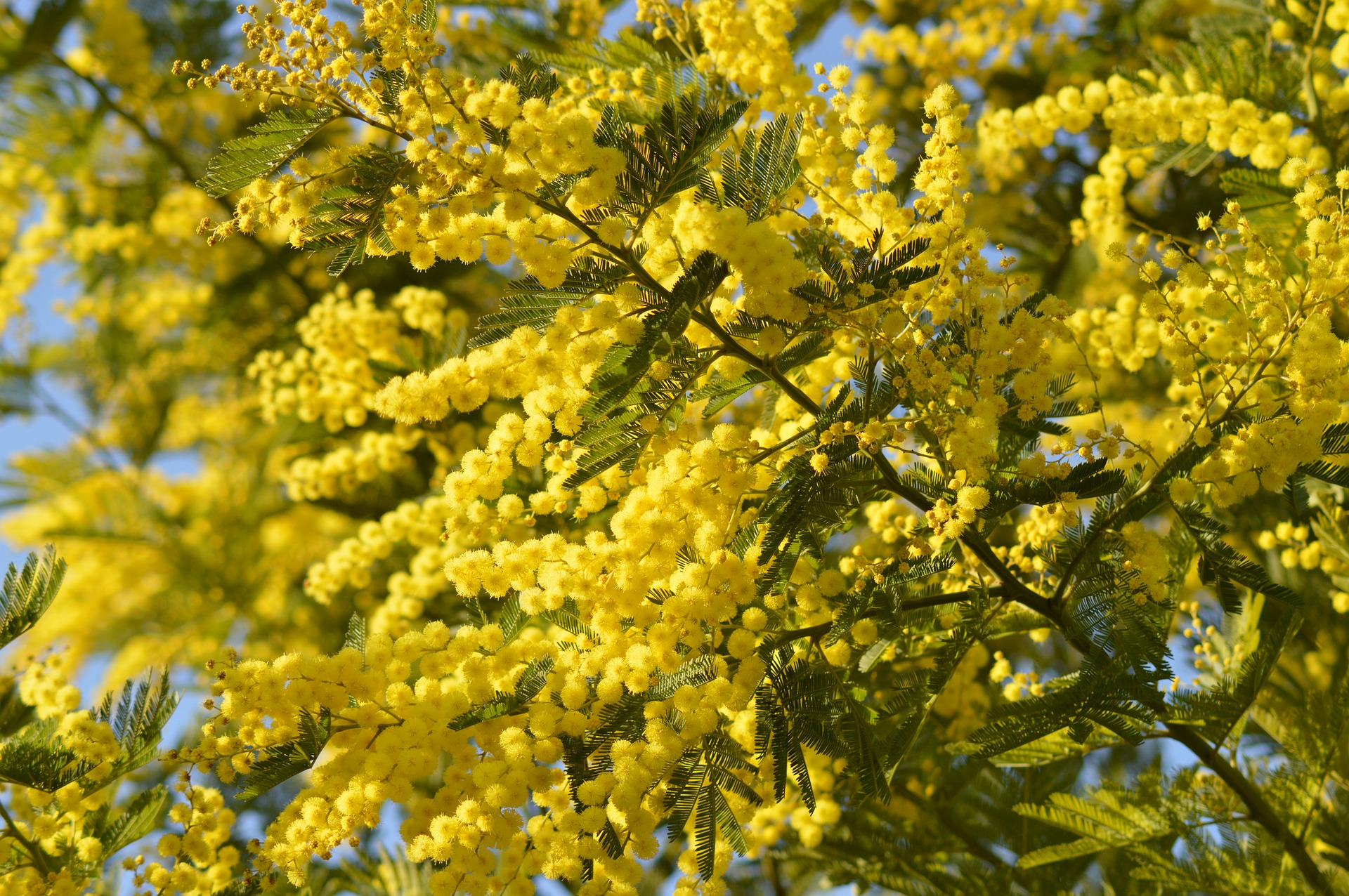 "In Italy, to celebrate the day, men give yellow mimosas to women. ""Communist politician Teresa Mattei chose the mimosa in 1946 as the symbol of IWD in Italy because she felt that the French symbols of the day, violets and lily-of-the-valley, were too scarce and expensive to be used effectively in Italy""  Wikipedia.  Photo: Pixabay"