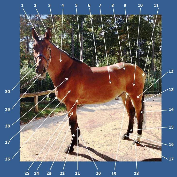 Principales parties du cheval