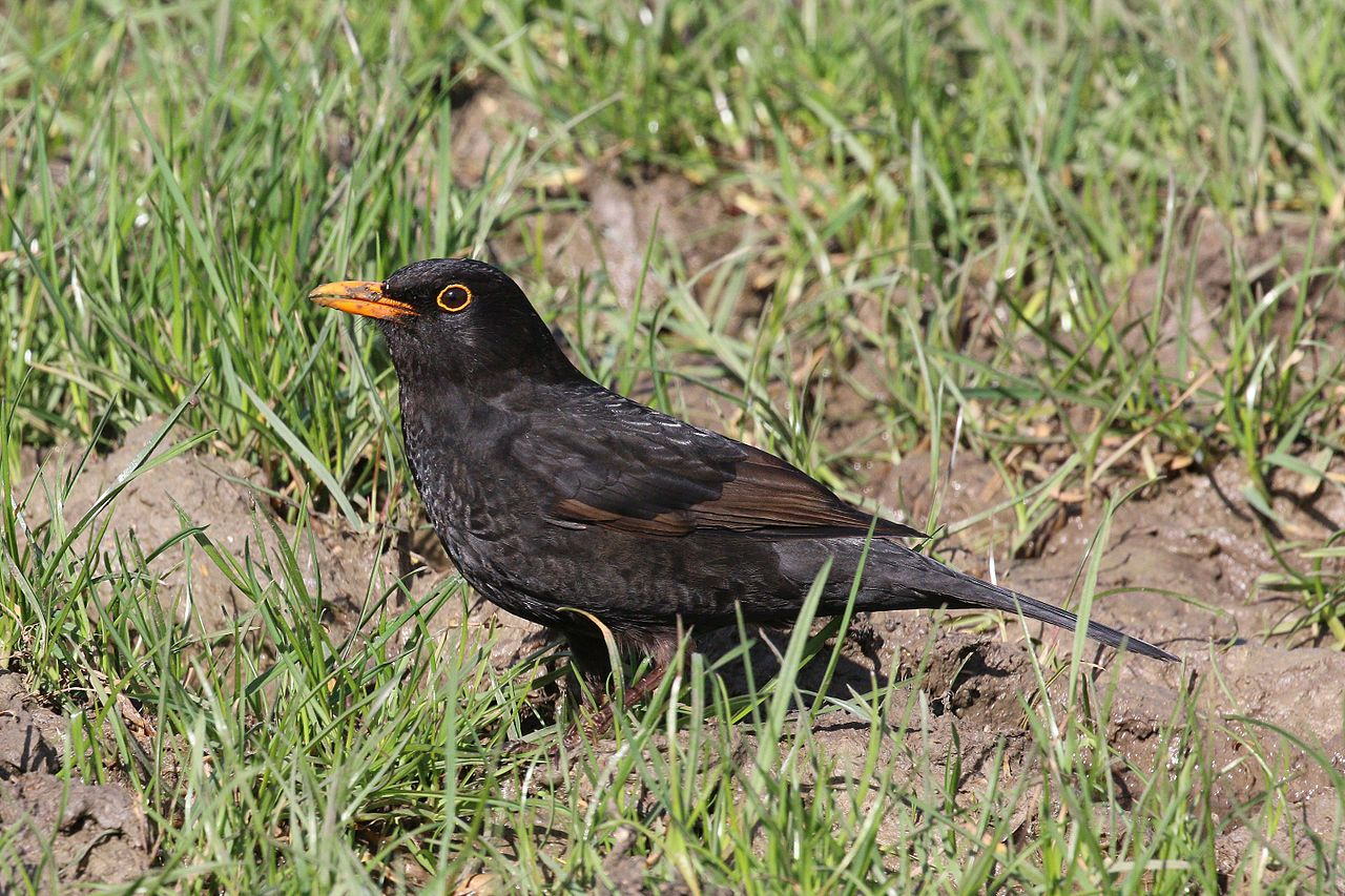 Blackbird (adult male)