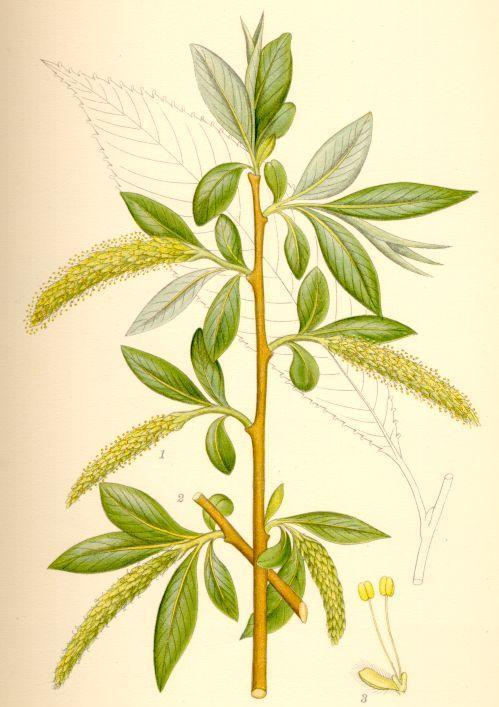 Crack Willow Leaf