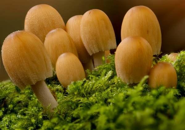 Glistening Ink Cap Fungi