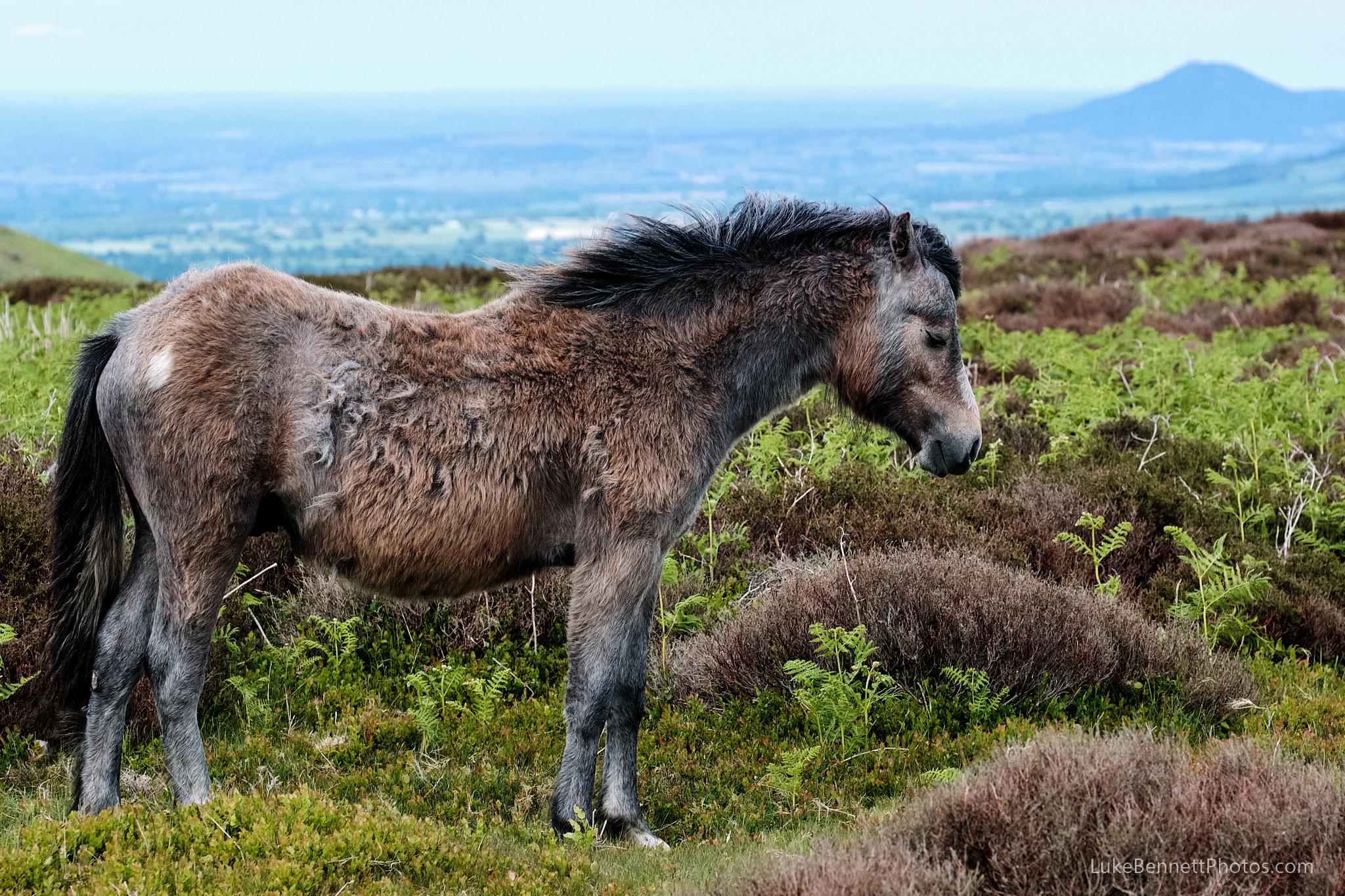 Carneddau pony?