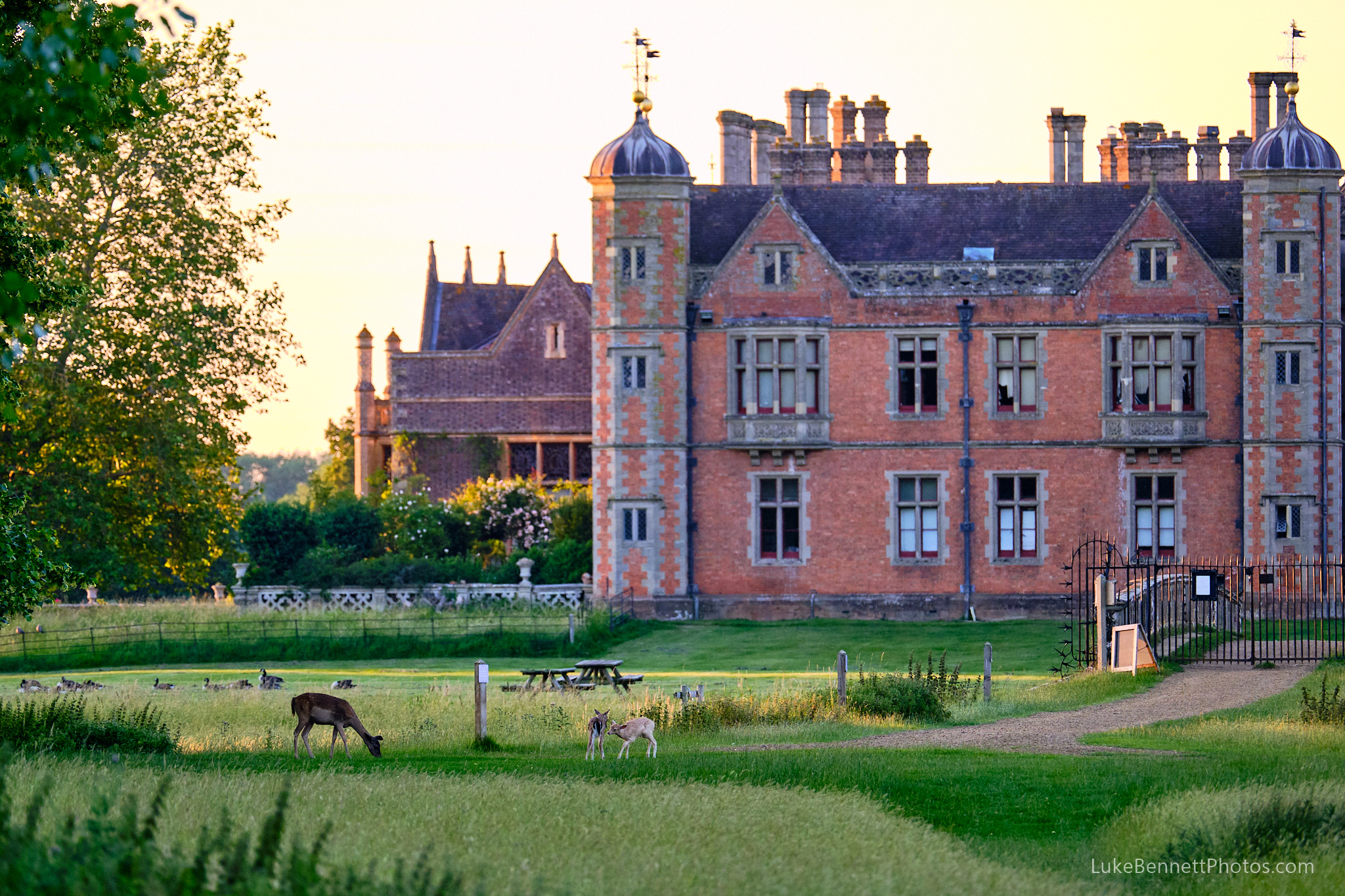 Young deer at play in front of Charlecote House