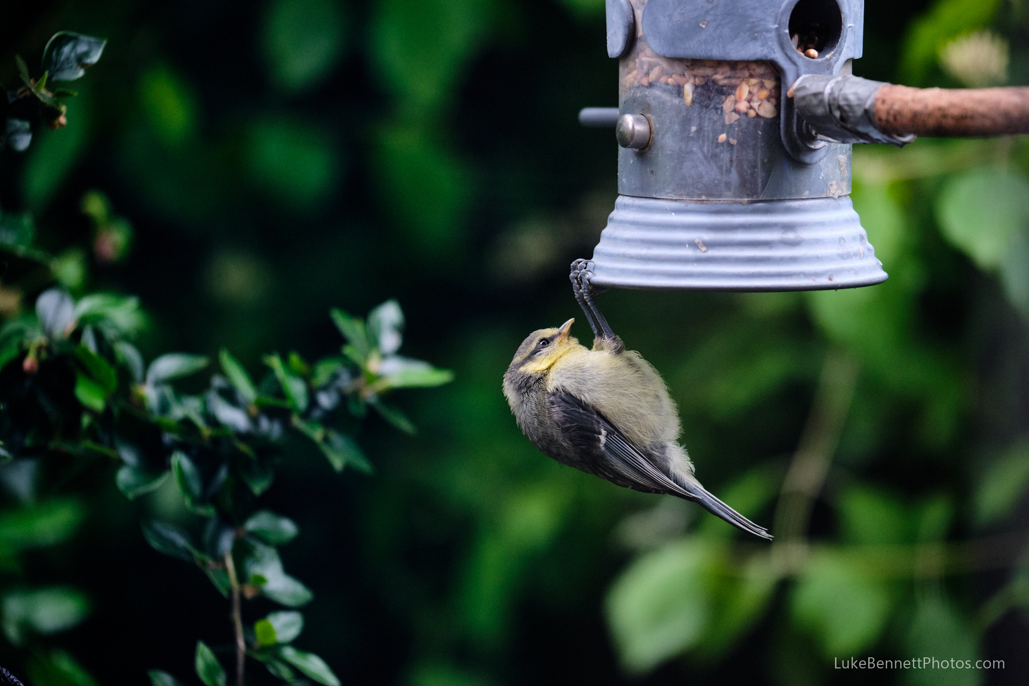 A young blue tit learning how to operate the bird feeder