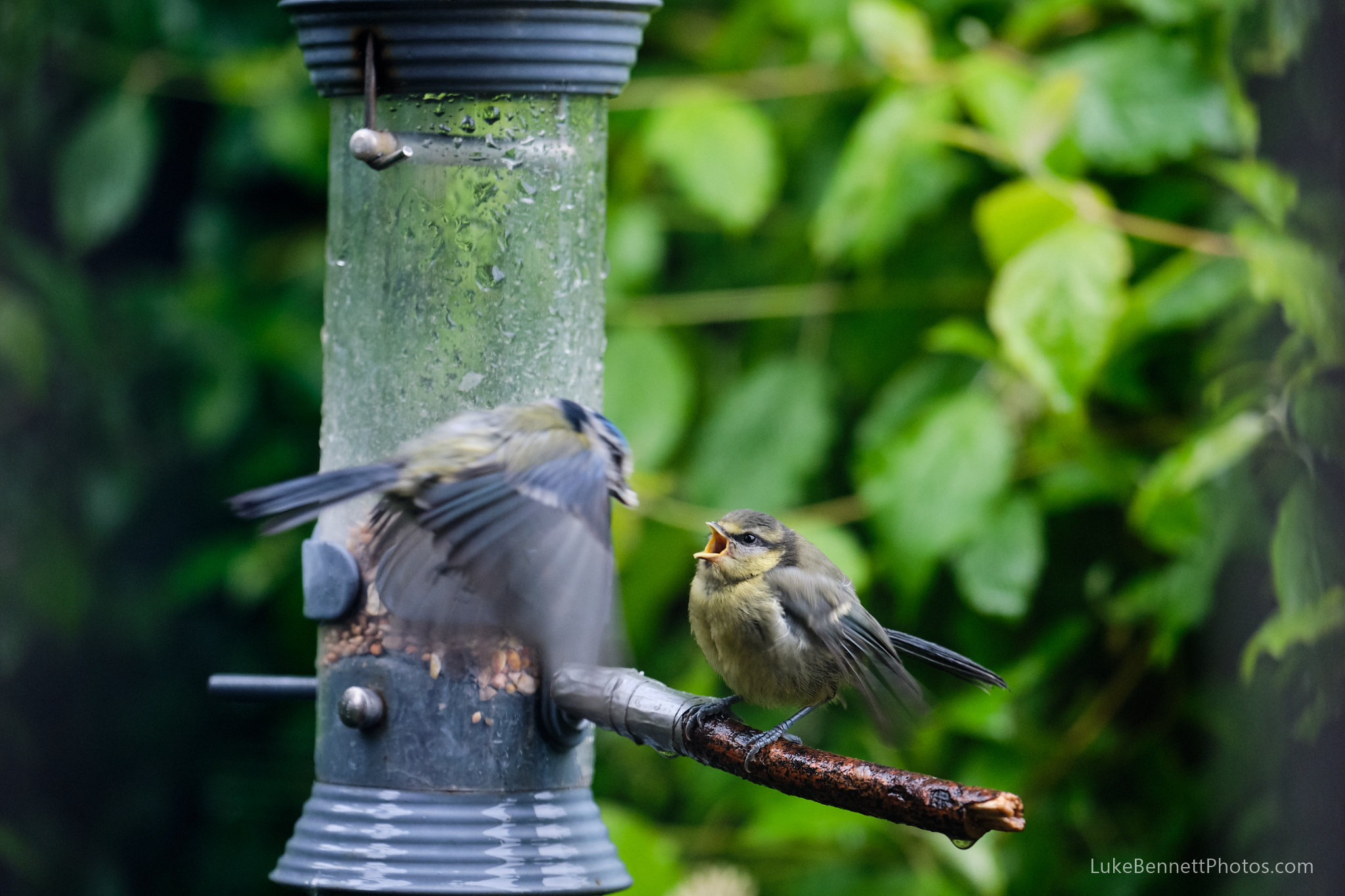 A young blue tit still being fed by their parent