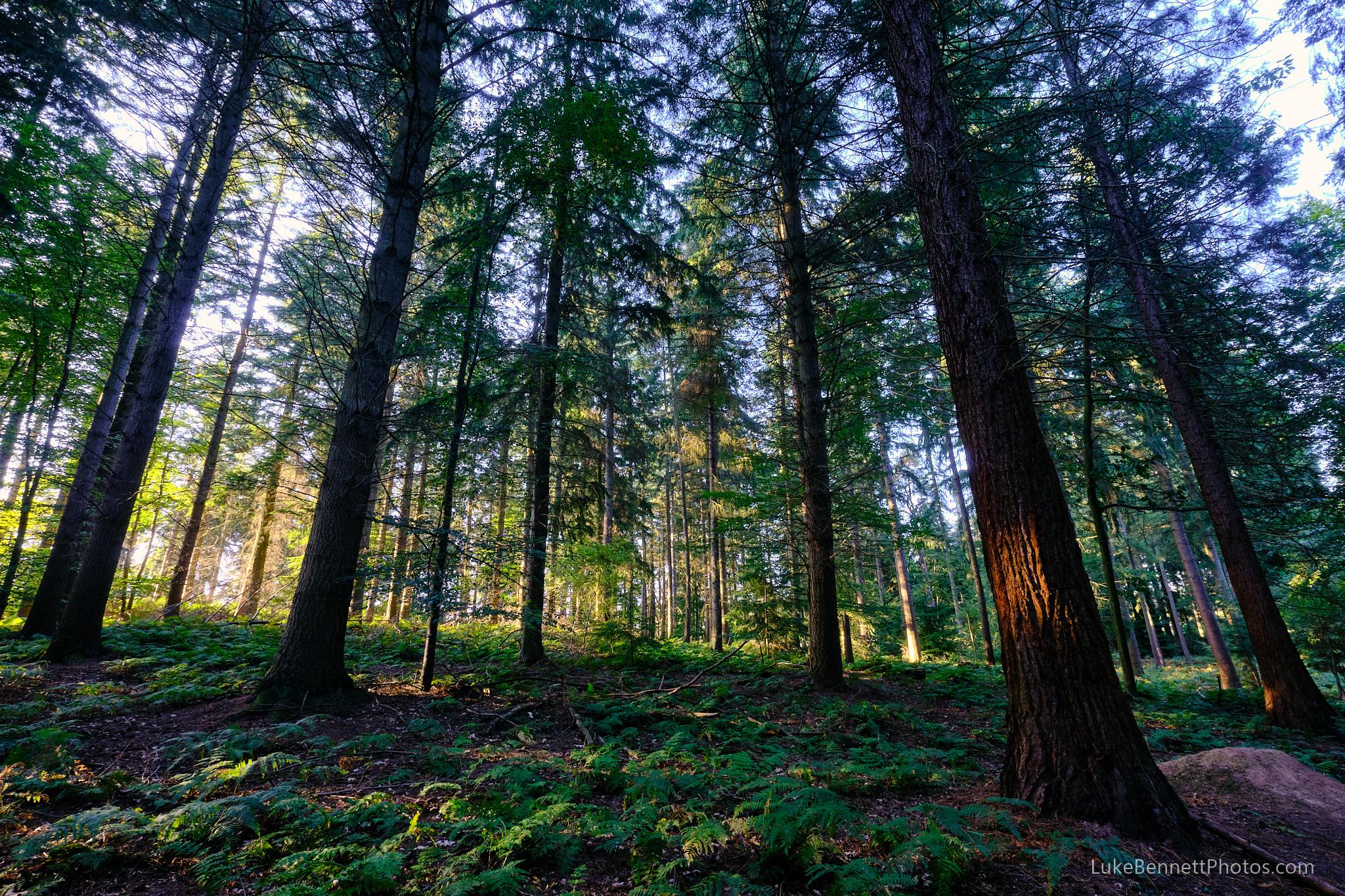 Nesscliffe Hills Woods