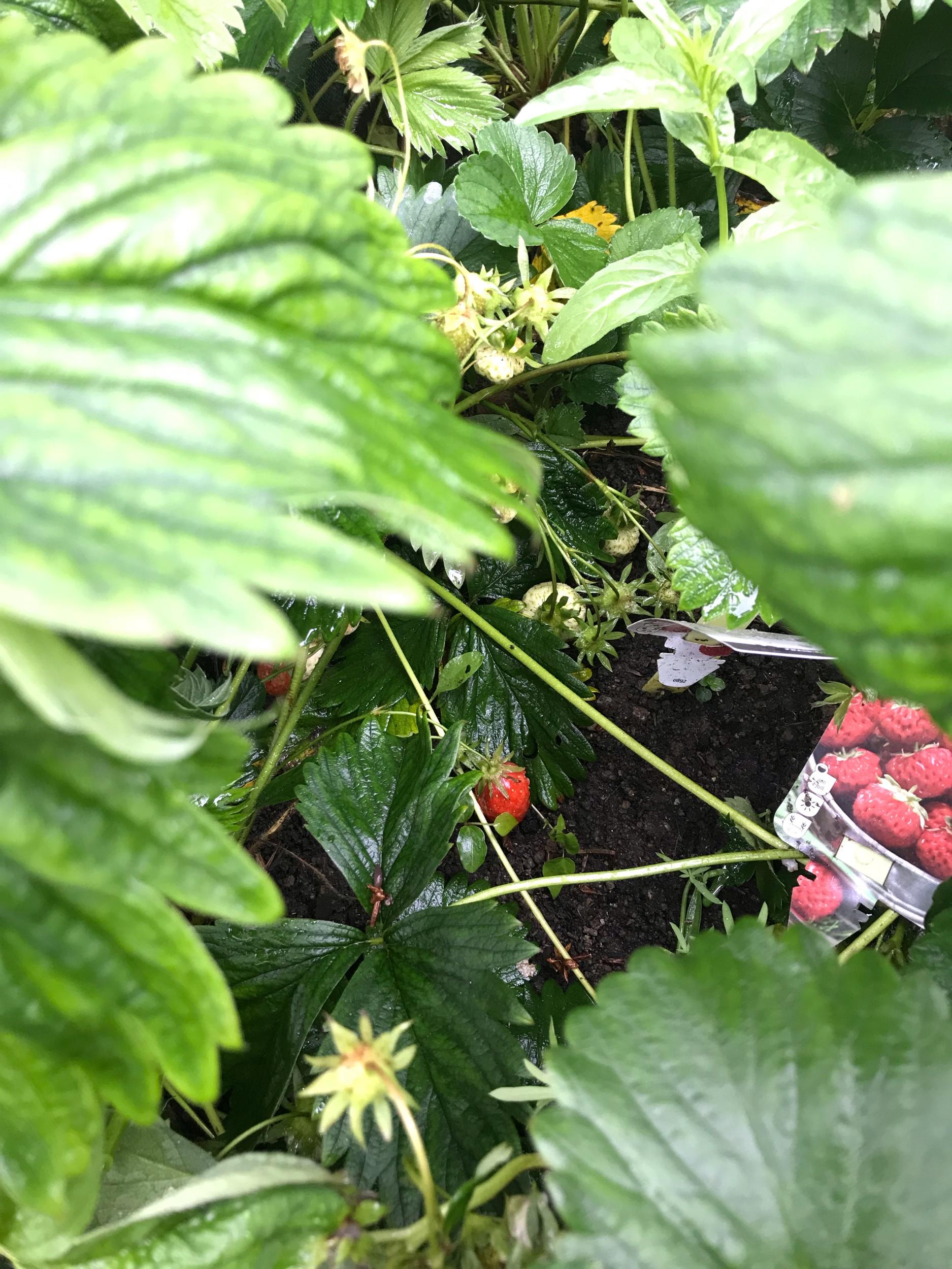 Jour 35 - 🍓Date : 4 juin🍓Distance : quelques centaines de mètres sur le GR🍓Départ - Arrivée : Plougastel🍓Au menu : des fraises