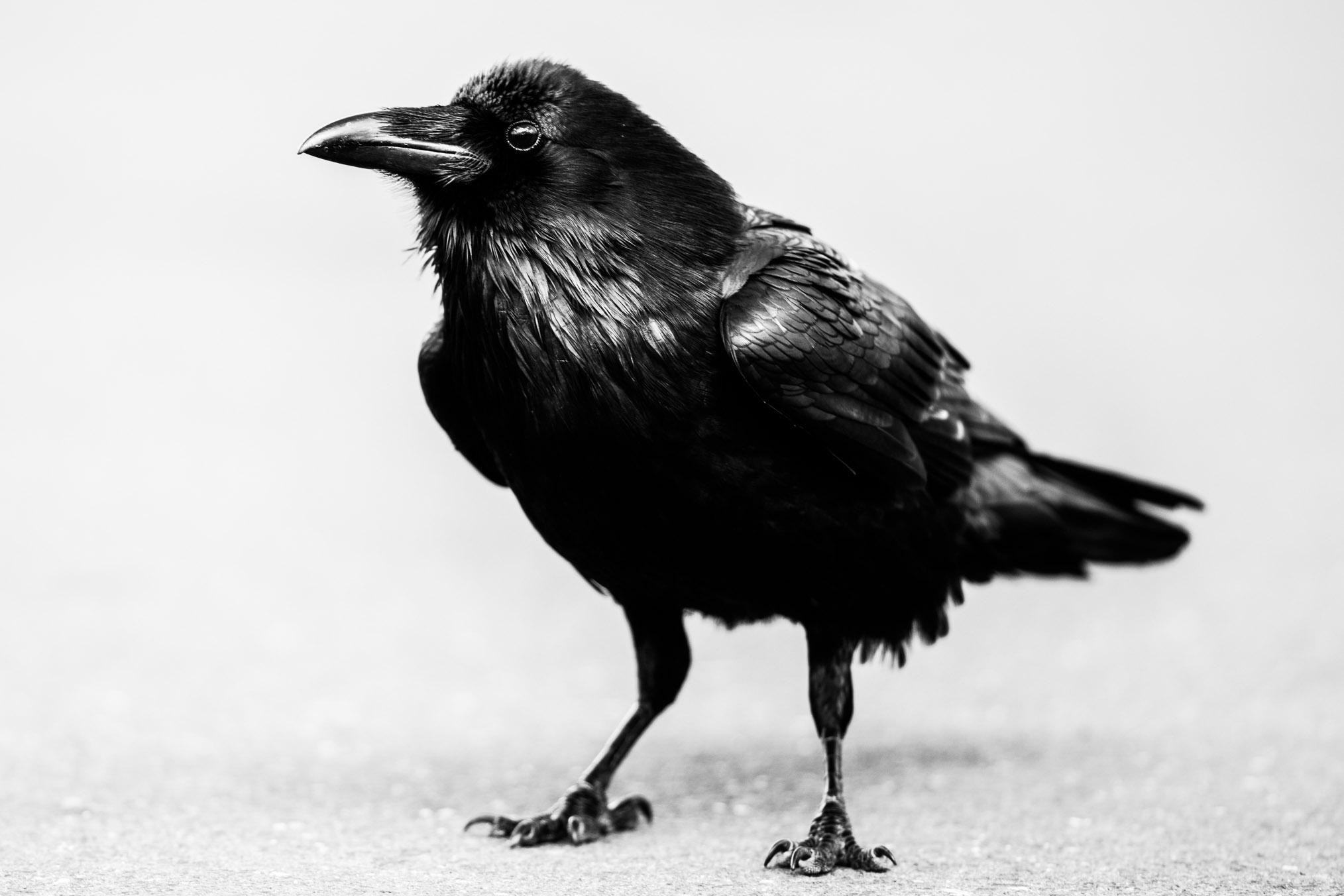 Big Raven.jpg