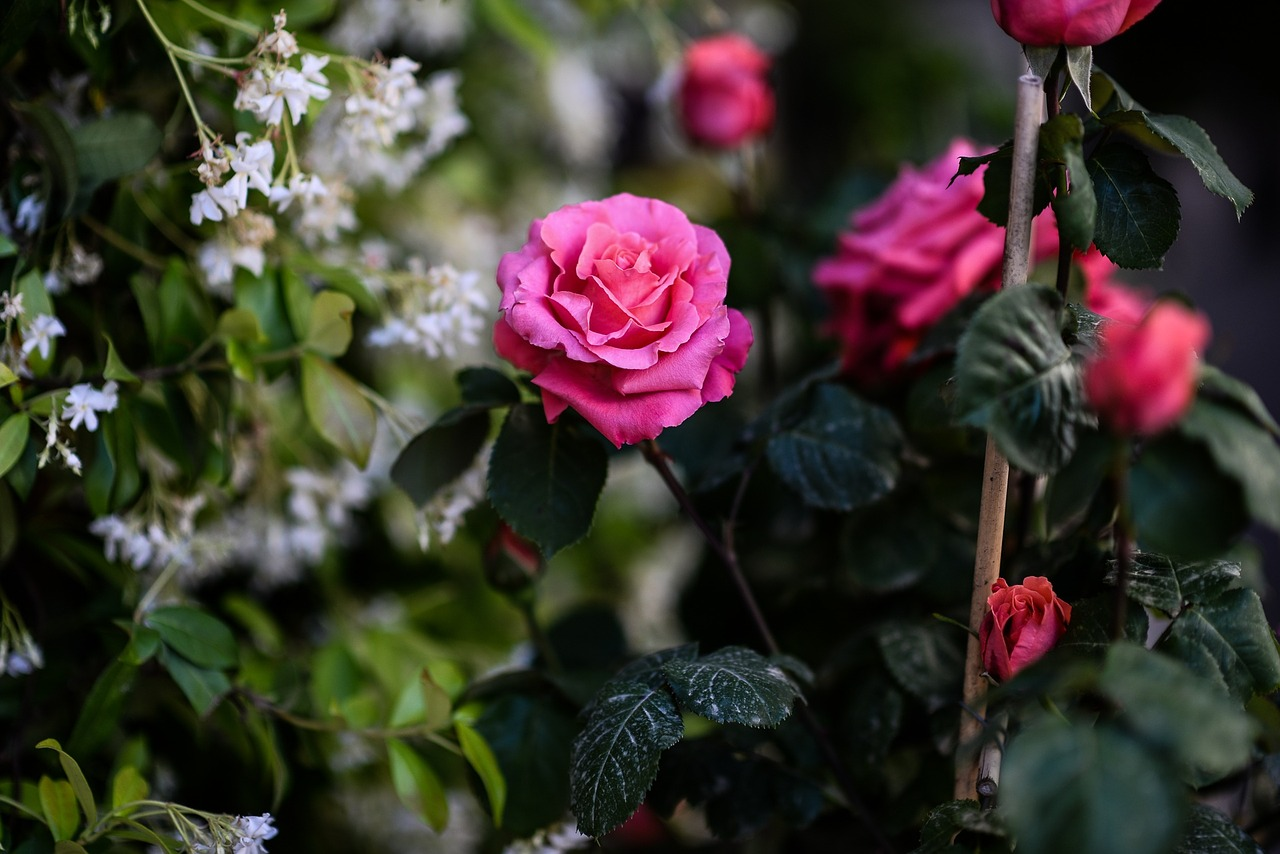 roses-1373441_1280.jpg