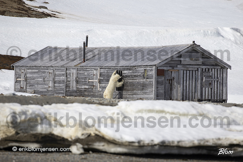 Nr. 1: Nysgerrig Isbjørn - Kunsttryk A2 42x59,4 cm. Kr. 1.950,-