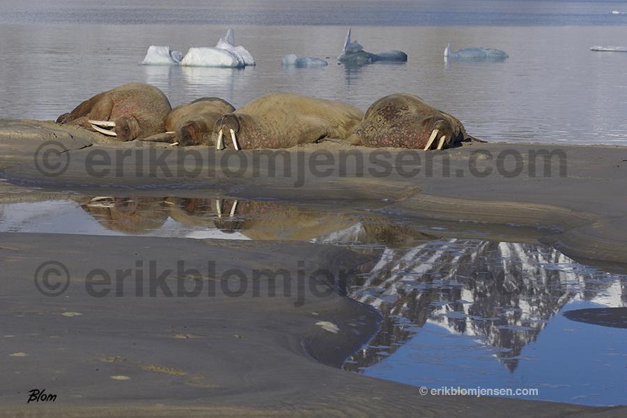 Nr.12: Sovende hvalrosser. Fine art under glas og i sort træramme. 90x60 cm. Pris oplyses på forespørgsel.