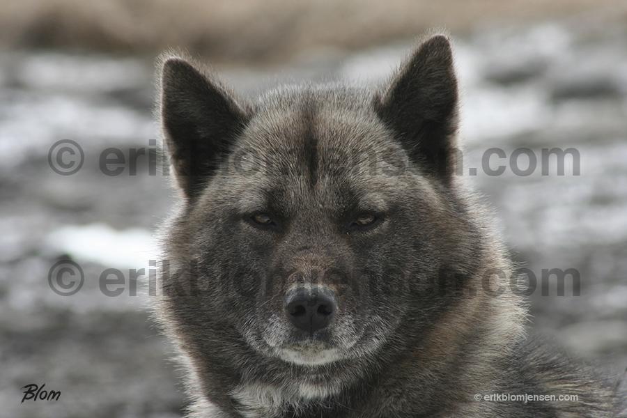 Nr. 21: Ulveblik fra slædehund. Valgfrit materiale.  90x60 cm. Pris oplyses på forespørgsel.