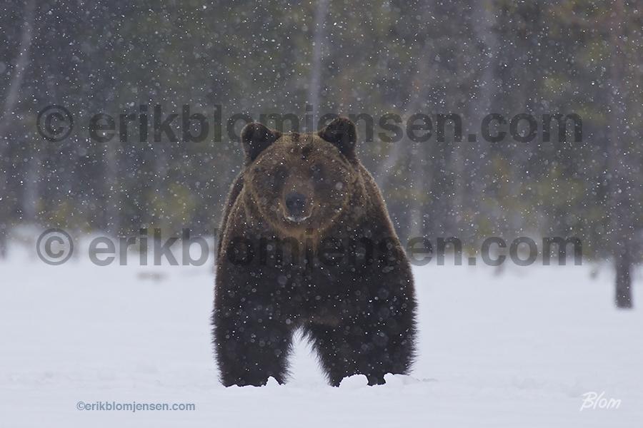Nr. 28: Brun hanbjørn i snevejr. Valgfrit materiale.  90x60 cm. Pris oplyses på forespørgsel.