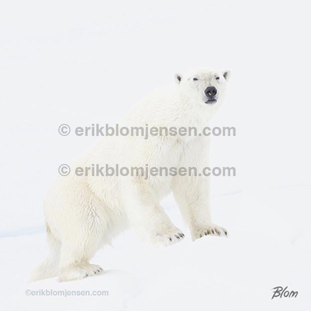 Nr. 29: Ung han isbjørn på ispodie.  110x110 cm. Pris oplyses på forespørgsel.