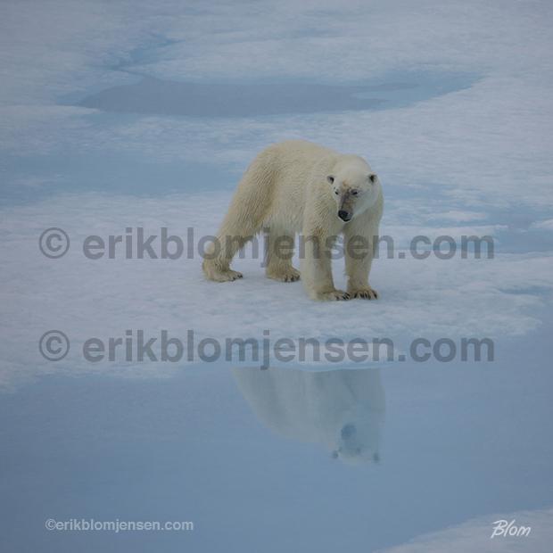 Nr. 30: Eftertænksom isbjørn. Akustikplade med sort træramme 83x83 cm. Pris oplyses på forespørgsel.