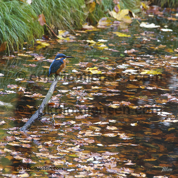 Nr. 35: Isfugl med efterårsstemning. Billede på metalplade i indramning. 83x83 cm. Pris oplyses på forespørgsel.