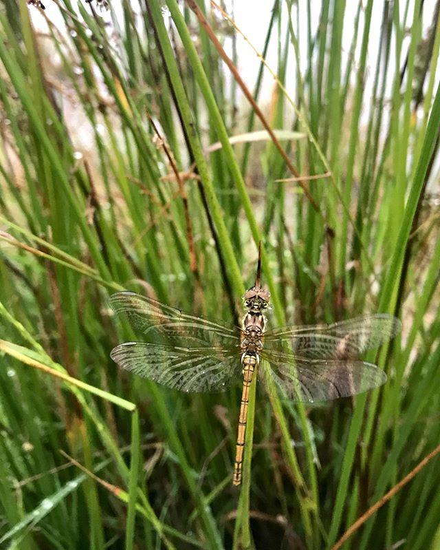 Så kom regnen 😅 - og selv vandnymferne og guldsmedene så næsten ud til at nyde det😉