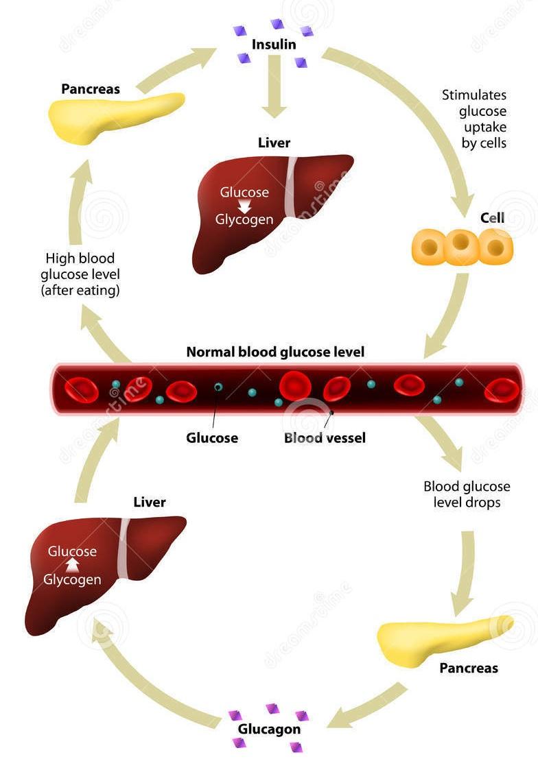 Insulin and Glucagon Regulate Blood Sugar Levels