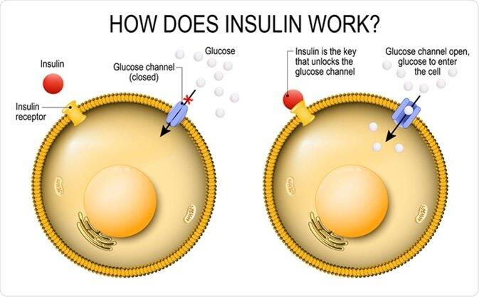 How does insulin work.jpg