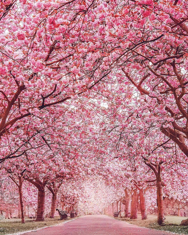 pink - cherry blossom 2.jpg