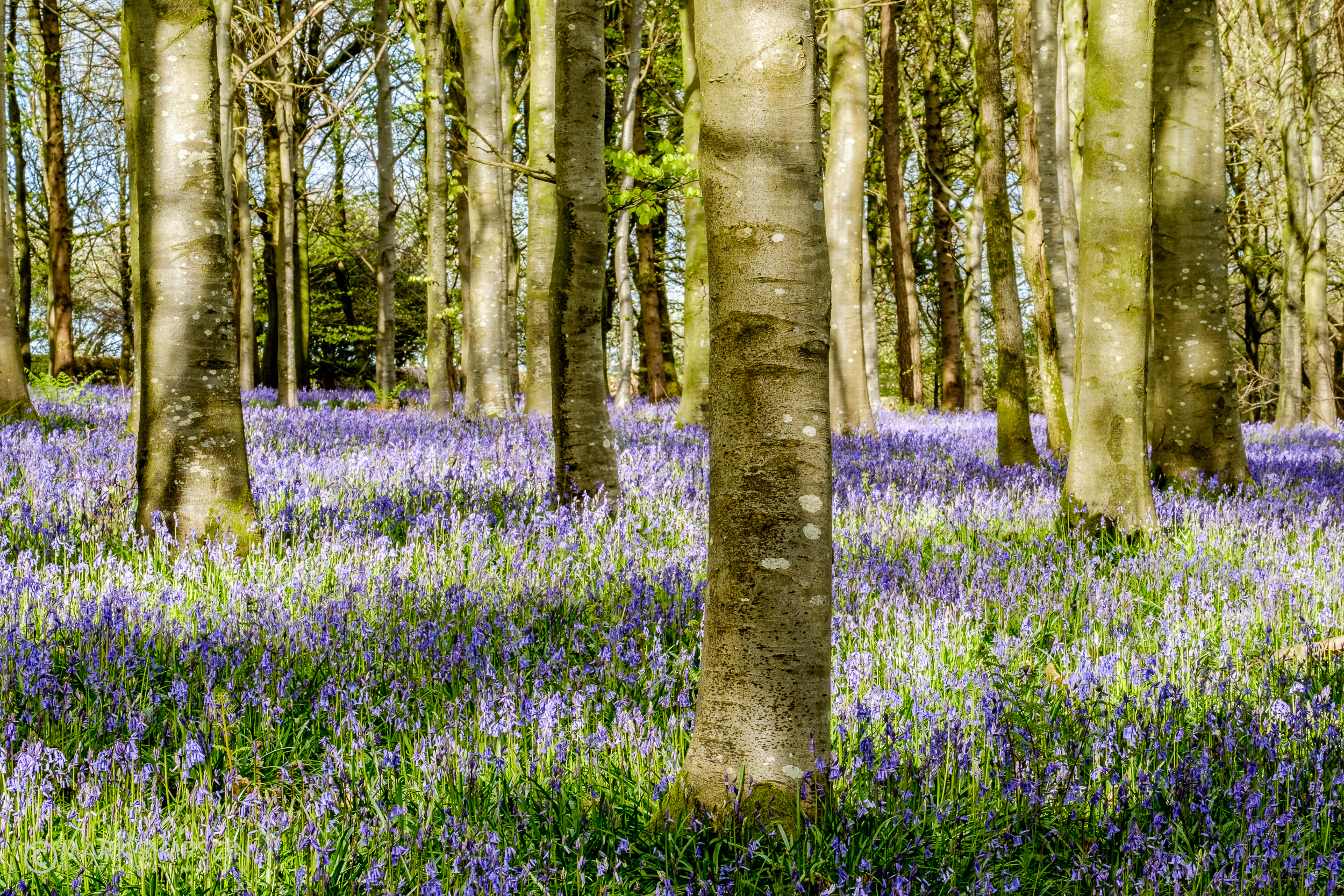 Bluebell wood, Dorset (Fujifilm X-T1, Fujinon XF 55-200mm F3.5-4.8 R LM OIS at 55mm, 1/12 sec f16, ISO200)