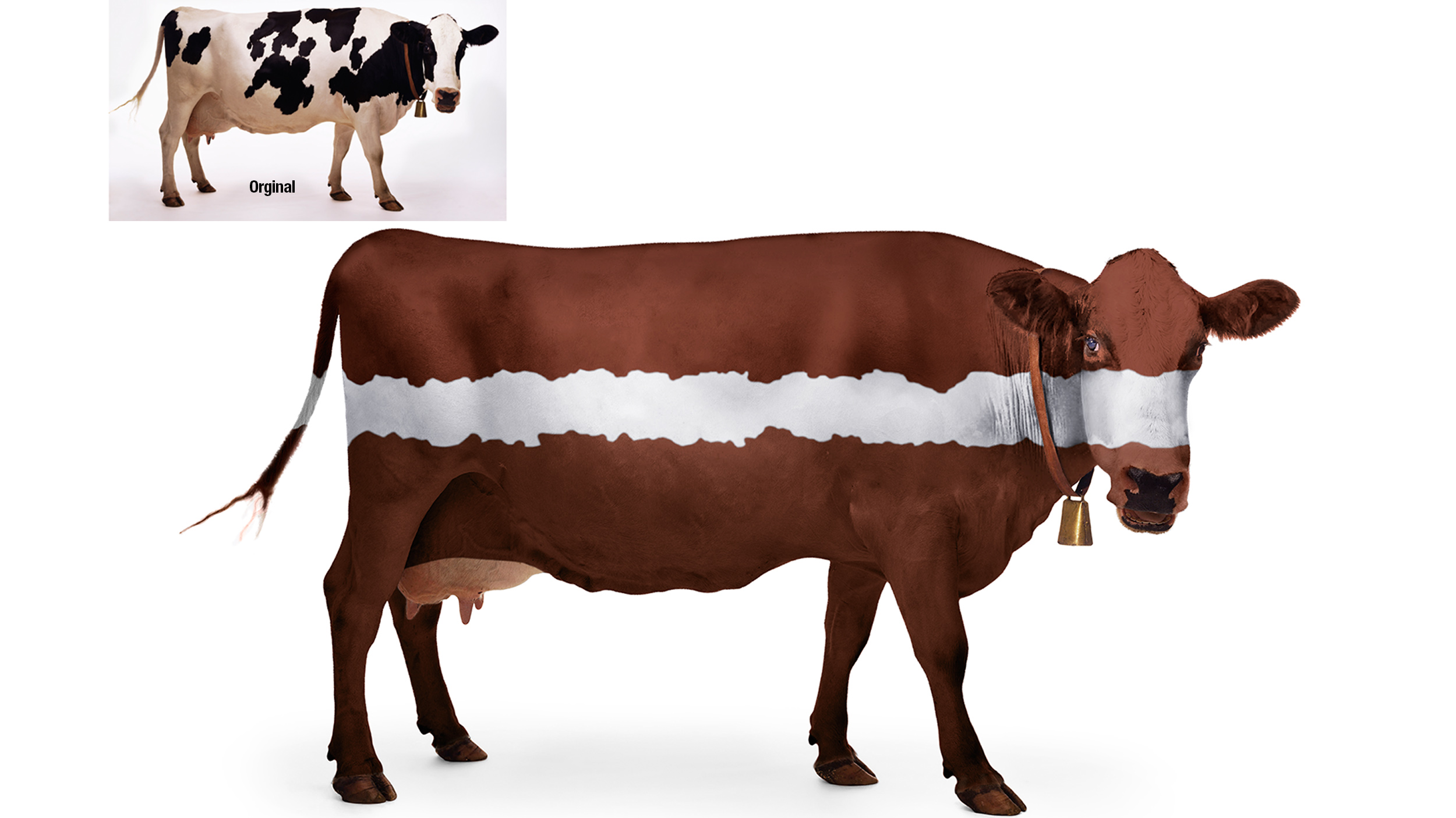 Cow-Creative-imageing-BigFishGraphicDesign.jpg