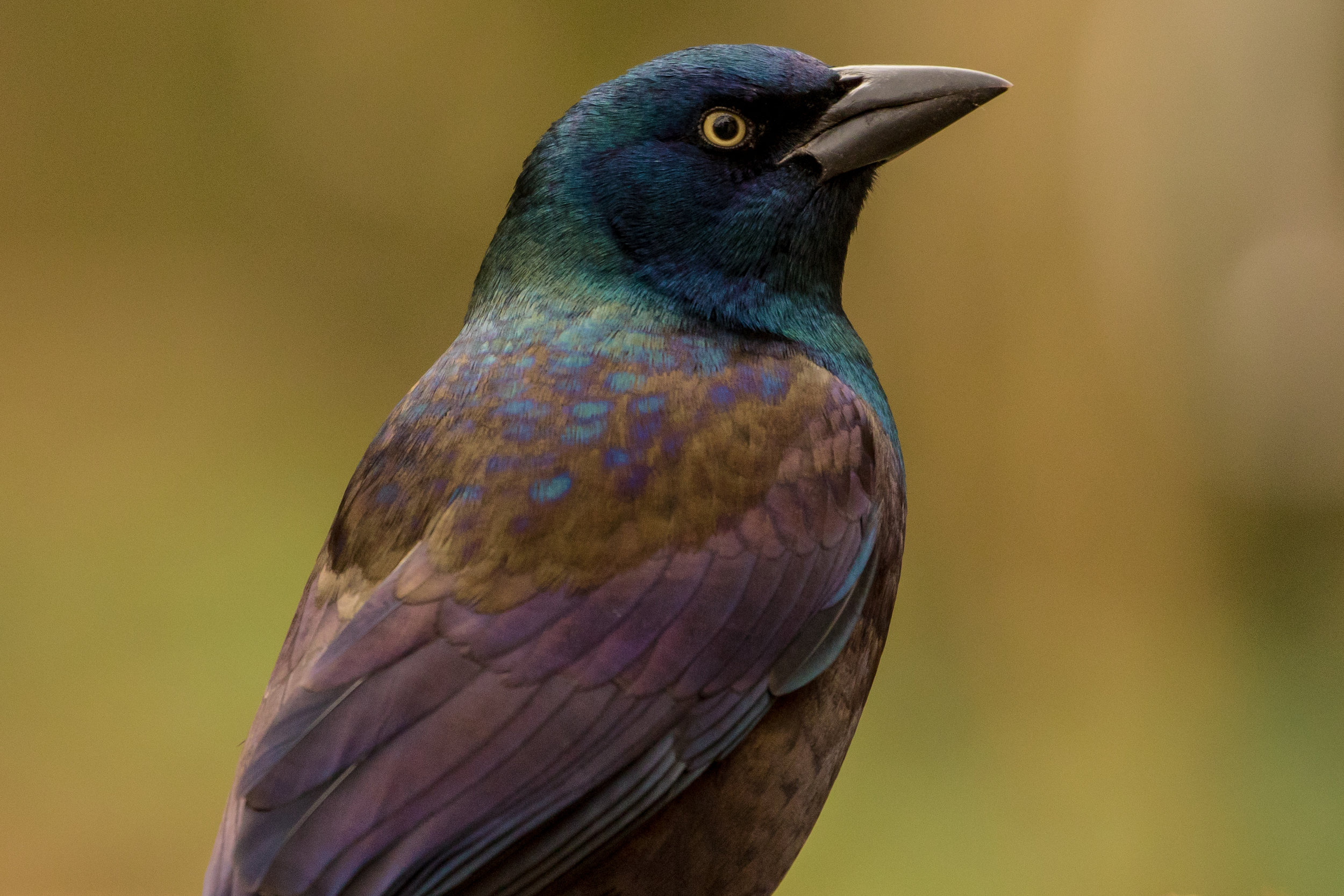 Common Grackle - Cambridge, MA