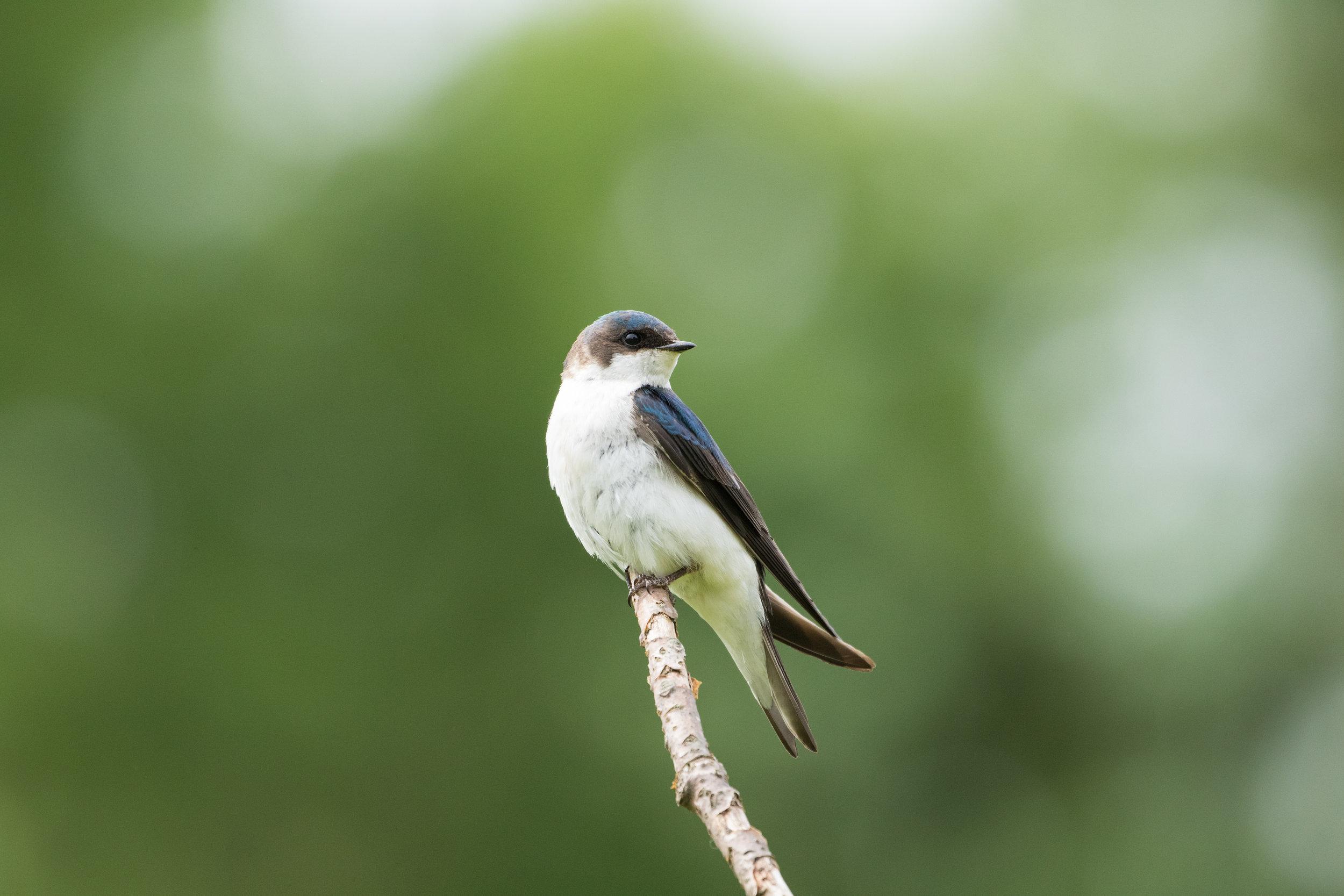 treeswallow.jpg
