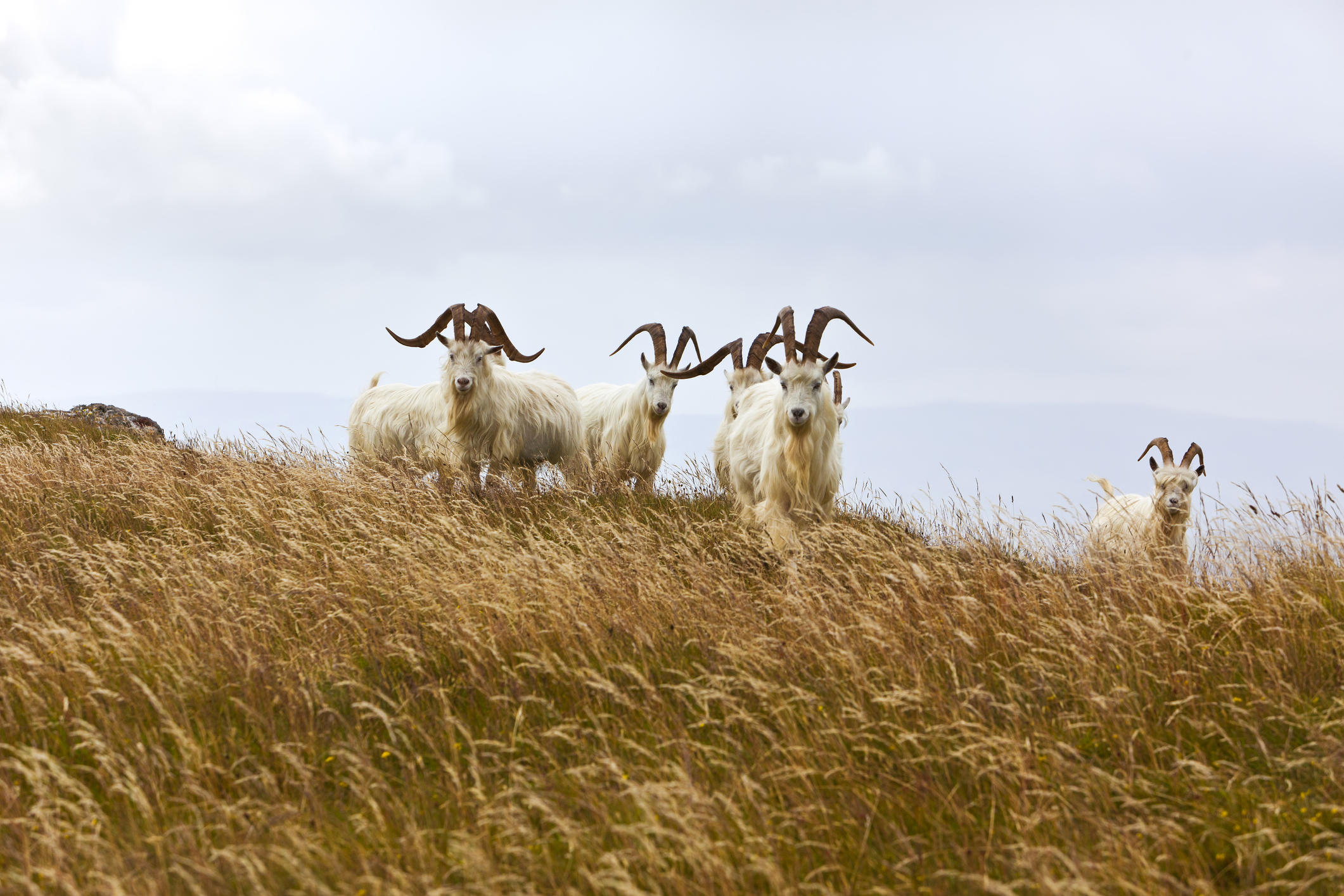 100% pure cashmere sourced from mongolian goats