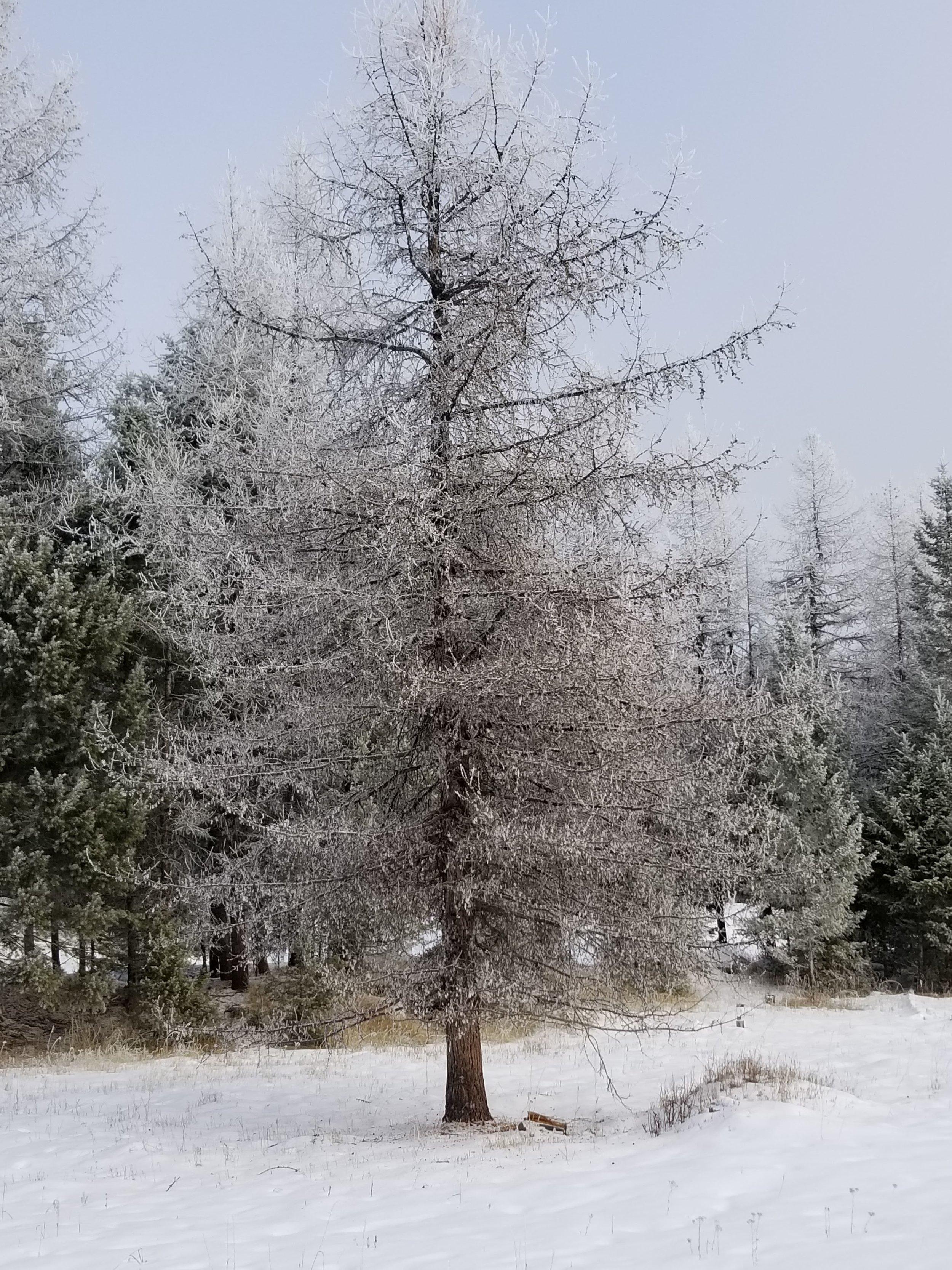 frostytree.jpg