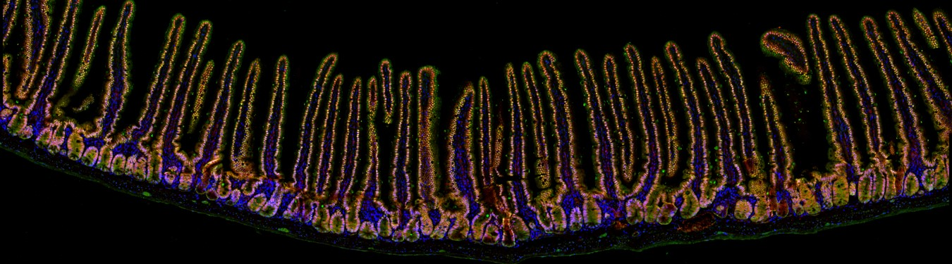 We're fascinated by all aspects of intestinal biology. Here's a a look at a small stretch of intestine. This undulating epithelial pattern of crypts and villi repeats millions of times along the length of our small intestine.