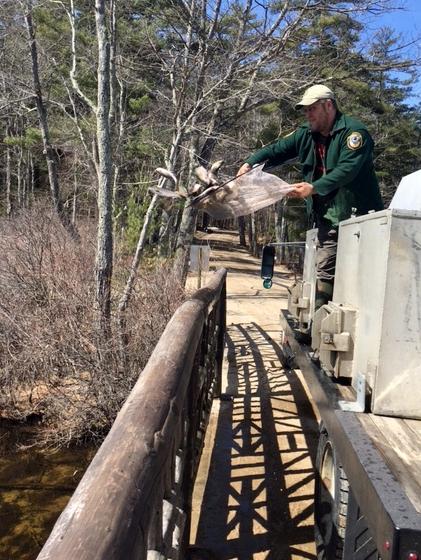 Stocking trout at Chocorua Lake.