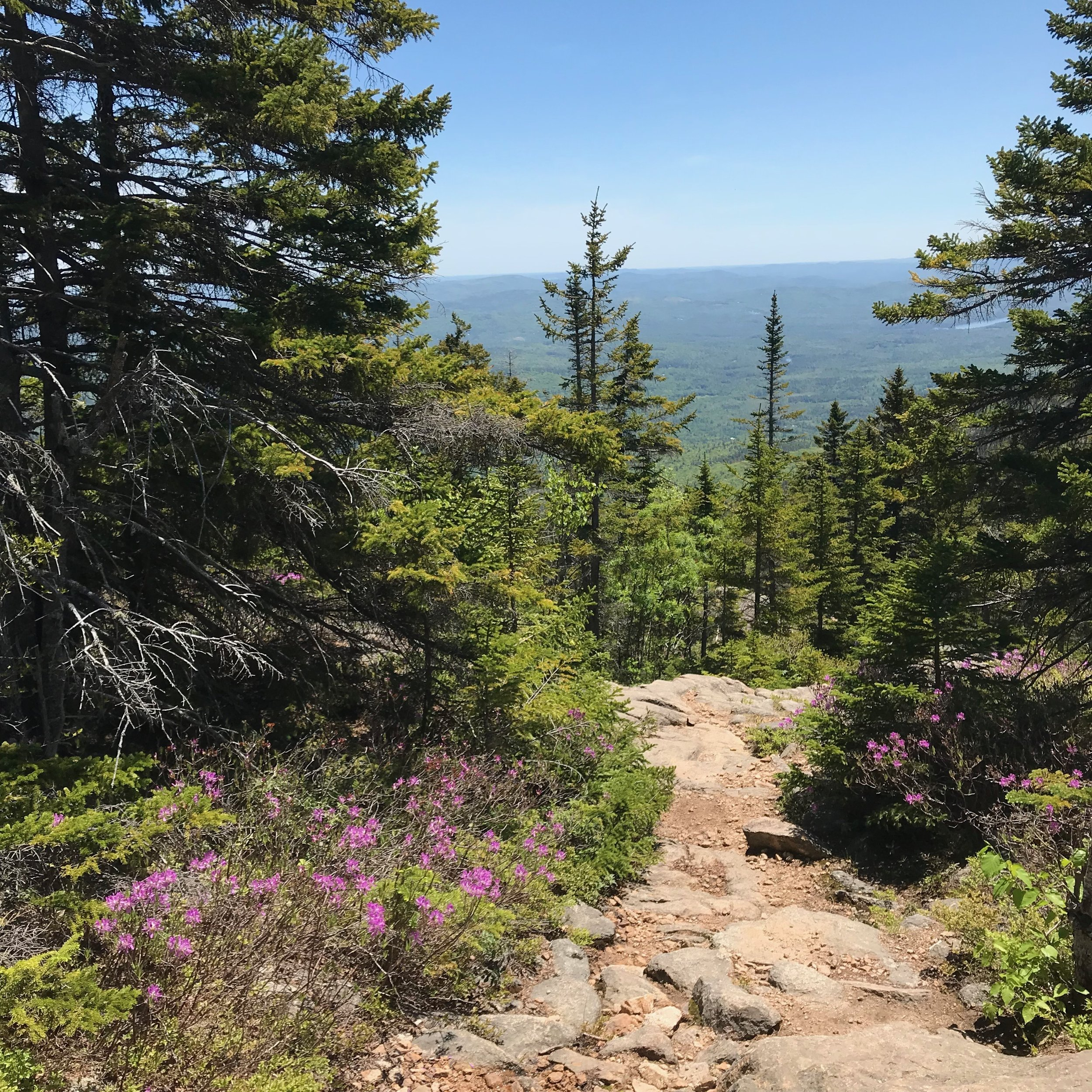 Rhodora,  rhododendron canadense , blooming on the Liberty Trail, Mount Chocorua. Photo: Juno Lamb