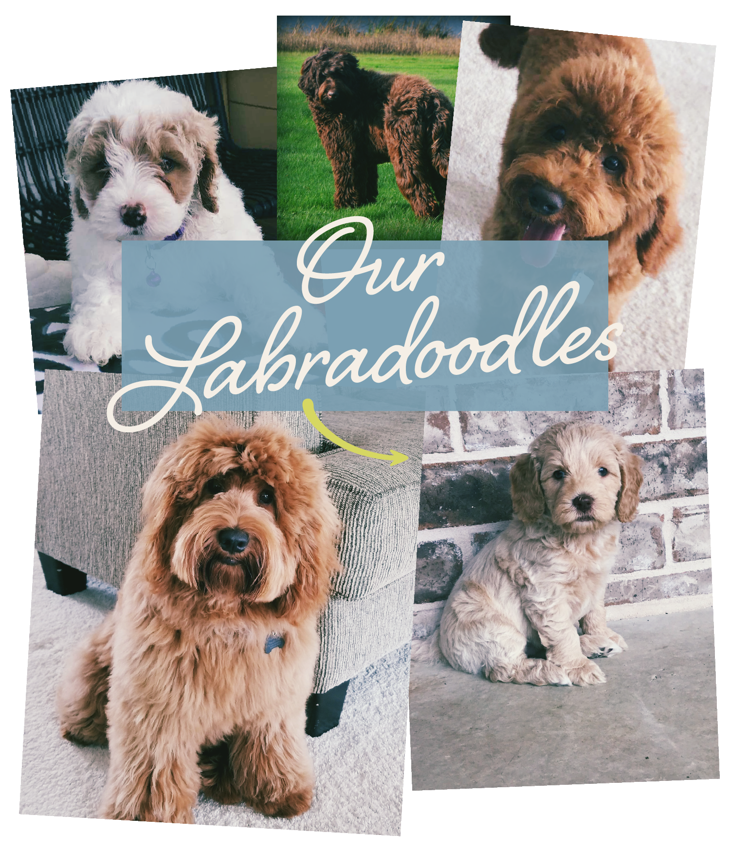 Our Labradoodles.png